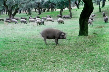 Extremadura Spanish pata negra ham