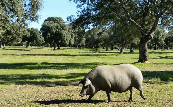 Mythes en legendes. Iberico ham van vrouwelijk varken is beter dan die van mannelijk varken
