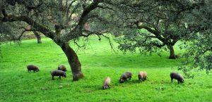 waar Iberische varkens worden gehouden