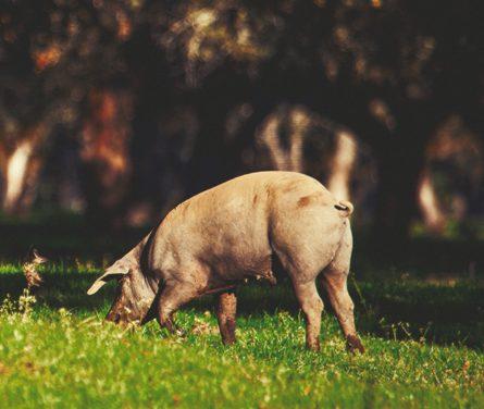 """Wat zijn de sleutels tot Joselito-ham, """"de beste ham ter wereld""""?"""